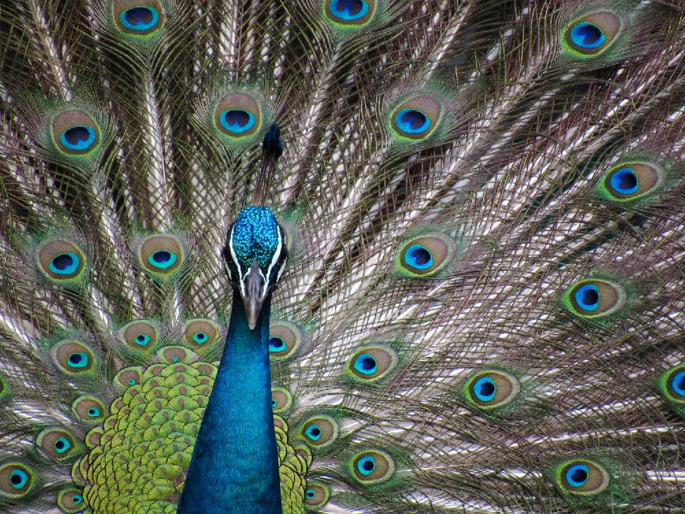 Peacock Reserve